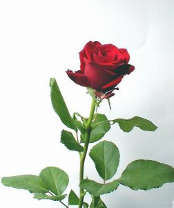 2163-long-stem-red-rose-on-a-white-background-pv